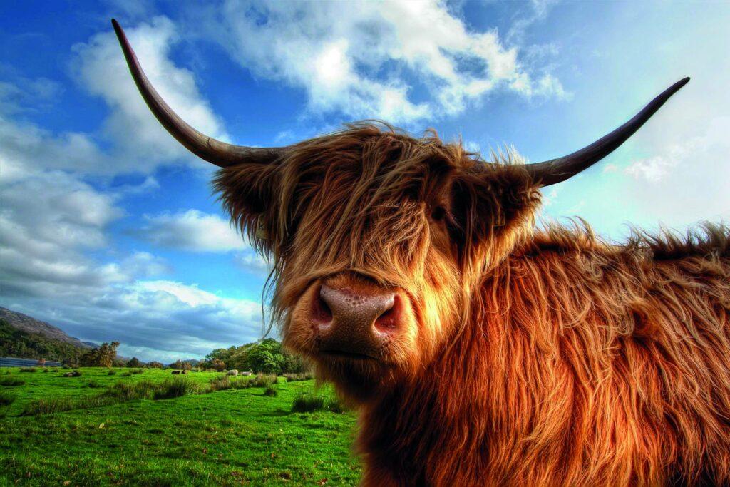 Schottland-Highland-Cow